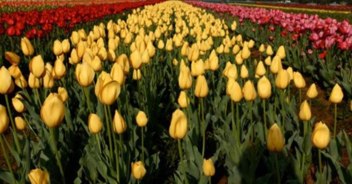 tulip garden kashmir 1