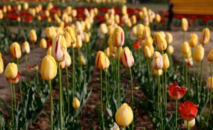 tulip garden kashmir 2