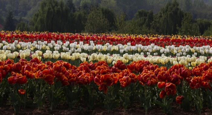 tulip garden kashmir